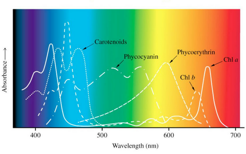 PAR Wavelengths and absorbtion levels