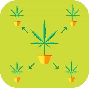 Marijuana Plant Cloning