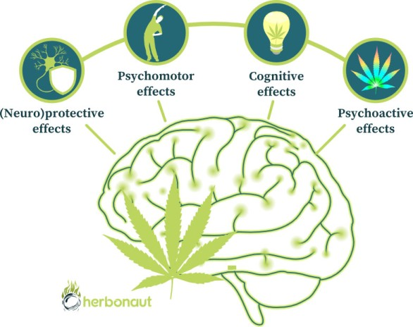 Acute Effects of Marijuana on the Brain